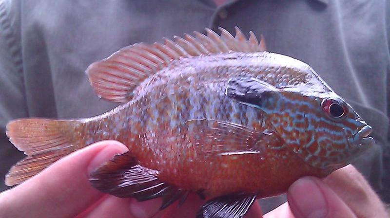Long Ear Sunfish