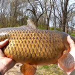 Catching Carp with Bread