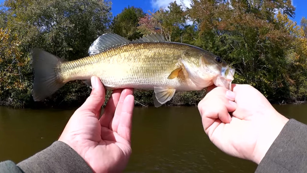 fall bass fishing with strike king red eye shad silent crankbait - Realistic Fishing