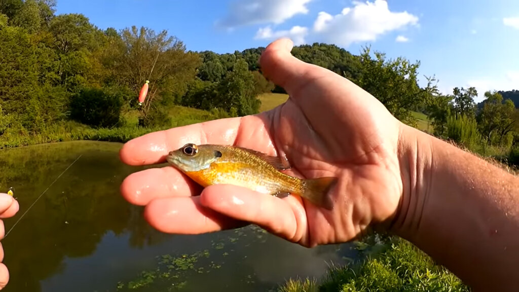 Pond Fishing with Artificial Lures Tiny Spoon And Honey Worms - Realistic Fishing