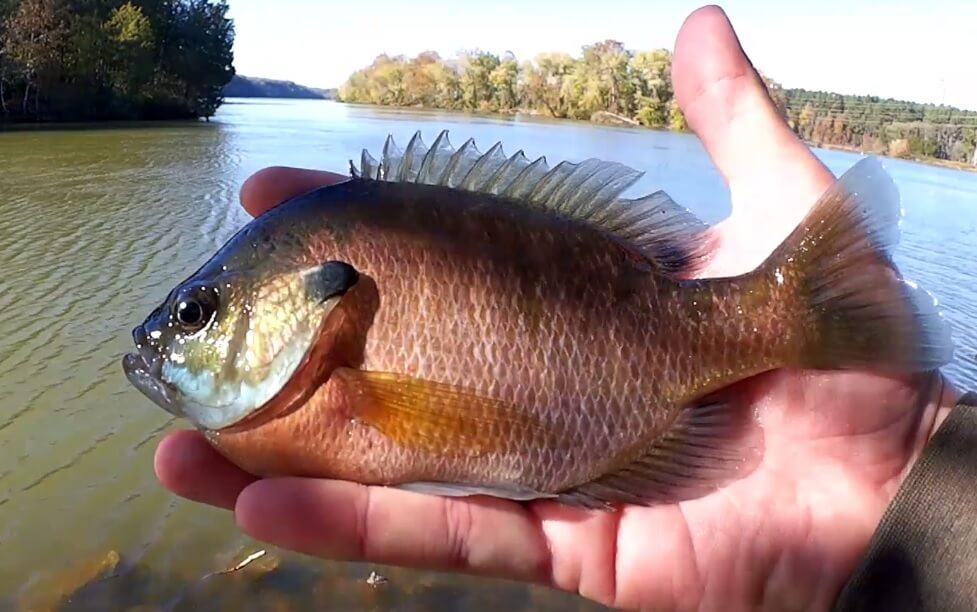 Catch Nice Bluegill using a Kentucky Rig - Realistic Fishing