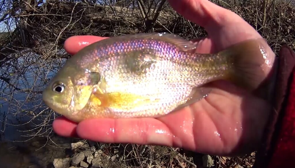 I Caught a Bluegill with a Big Lump Fishing Deep Water for Lumpy - Realistic Fishing