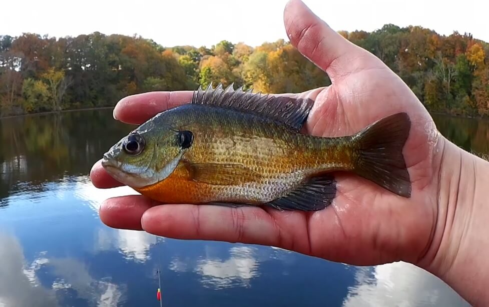 My Favorite Panfish Lures Artificial Baits Gulp Minnow vs Gulp Larva - Realistic Fishing