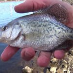 Deep Water Crappie and Bluegill Fishing from the Bank - Realistic Fishing
