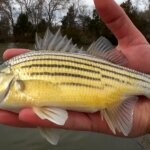 Fishing for a Different Kind of Bass Yellow Bass at Skeletor Park - Realistic Fishing