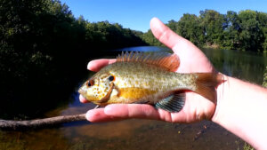 Now is Good Time to Fish For Bluegill Realistic Fishing Panfish Rig - Realistic Fishing