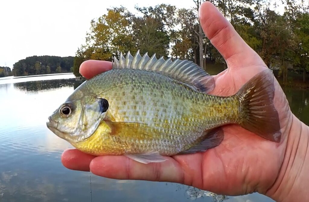 Realistic Fishing for Bluegill Bank Fishing with a Float Rig - Realistic Fishing